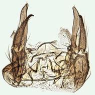 Image of <i>Dixella martinii</i> (Peus 1934)