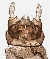 Image of <i>Dixa nubilipennis</i> Curtis 1832