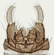 Image of <i>Dixa dilatata</i> Strobl 1900