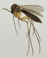 Image of <i>Exechia spinuligera</i> Lundstrom 1912