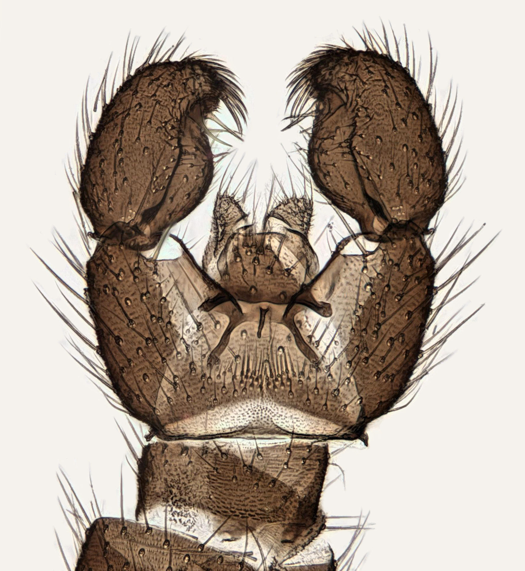 Image of <i>Corynoptera forcipata</i> (Winnertz 1867)