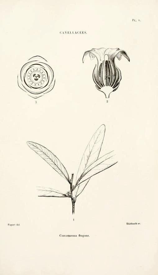 Image of <i>Cinnamosma fragrans</i> Baill.