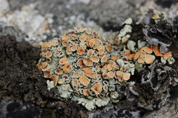 Image of rimmed navel lichen