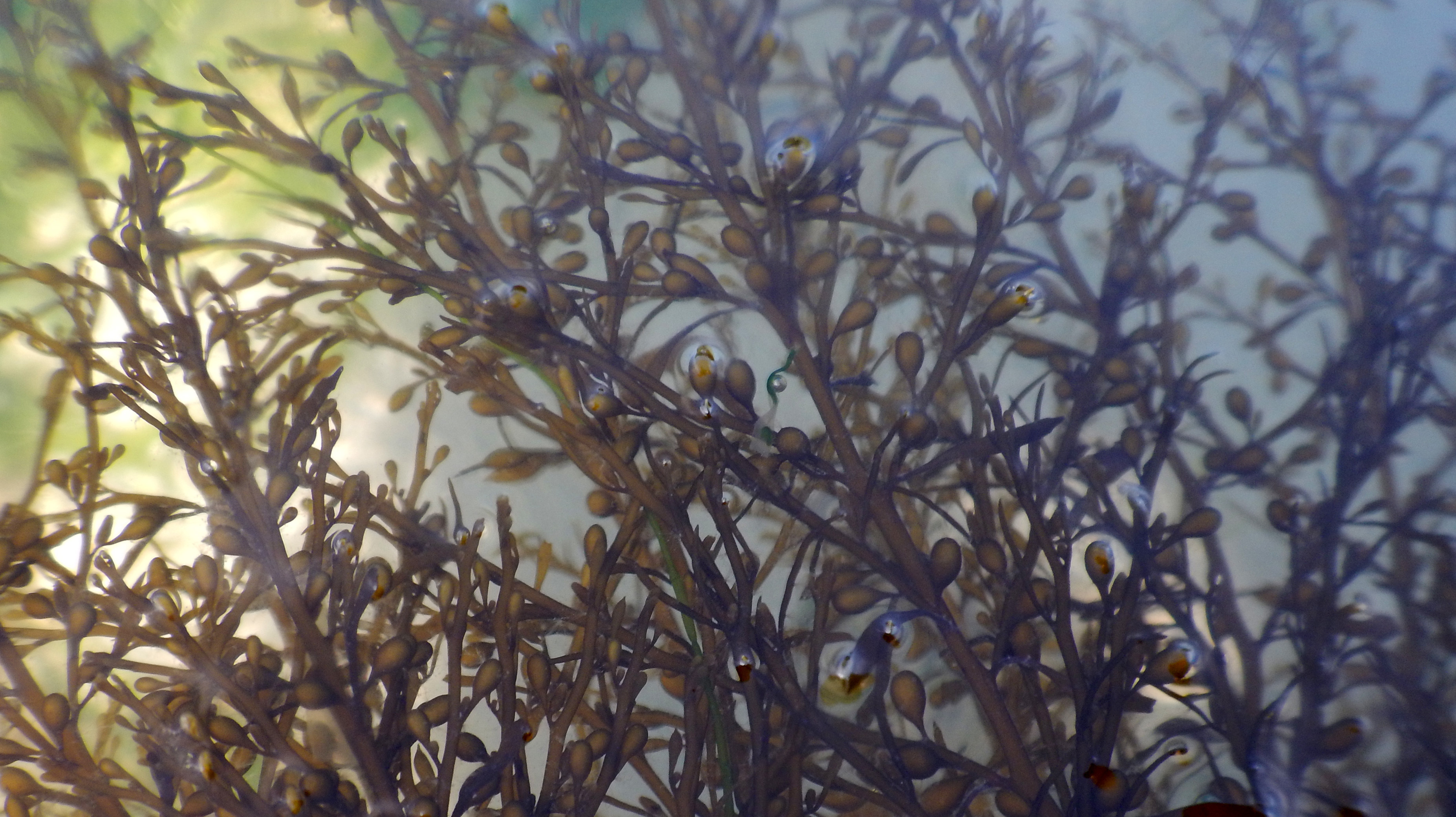 Image of Japanese Wireweed