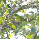 Image of Yellow-throated Hanging Parrot