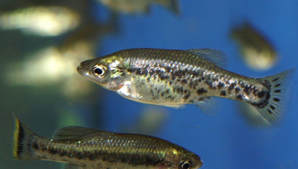 Image of butterfly splitfin