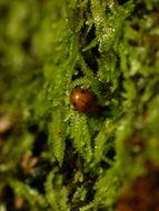 Image of Lejeuneaceae