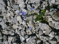 Image of leafless-stemmed speedwell