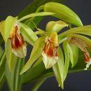 Image of <i>Coelogyne fuerstenbergiana</i> Schltr.