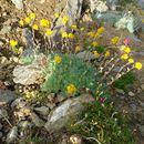 Image of <i>Artemisia glacialis</i> L.
