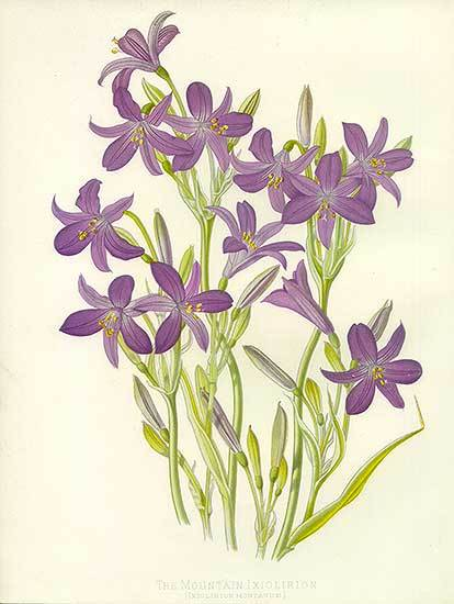 Image of <i>Ixiolirion tataricum</i> (Pall.) Schult. & Schult. fil.