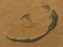 Image of wart lichen