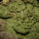Image of ropalospora lichen