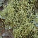 Image of Bloody beard lichen;   Beard lichen