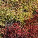Image of Galapagos carpetweed