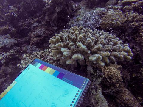 Image of Cauliflower coral