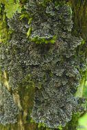 Image of degelia lichen