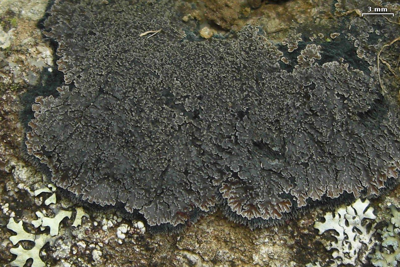 Image of Fuscopannaria