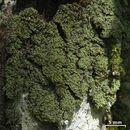 Image of phyllopsora lichen