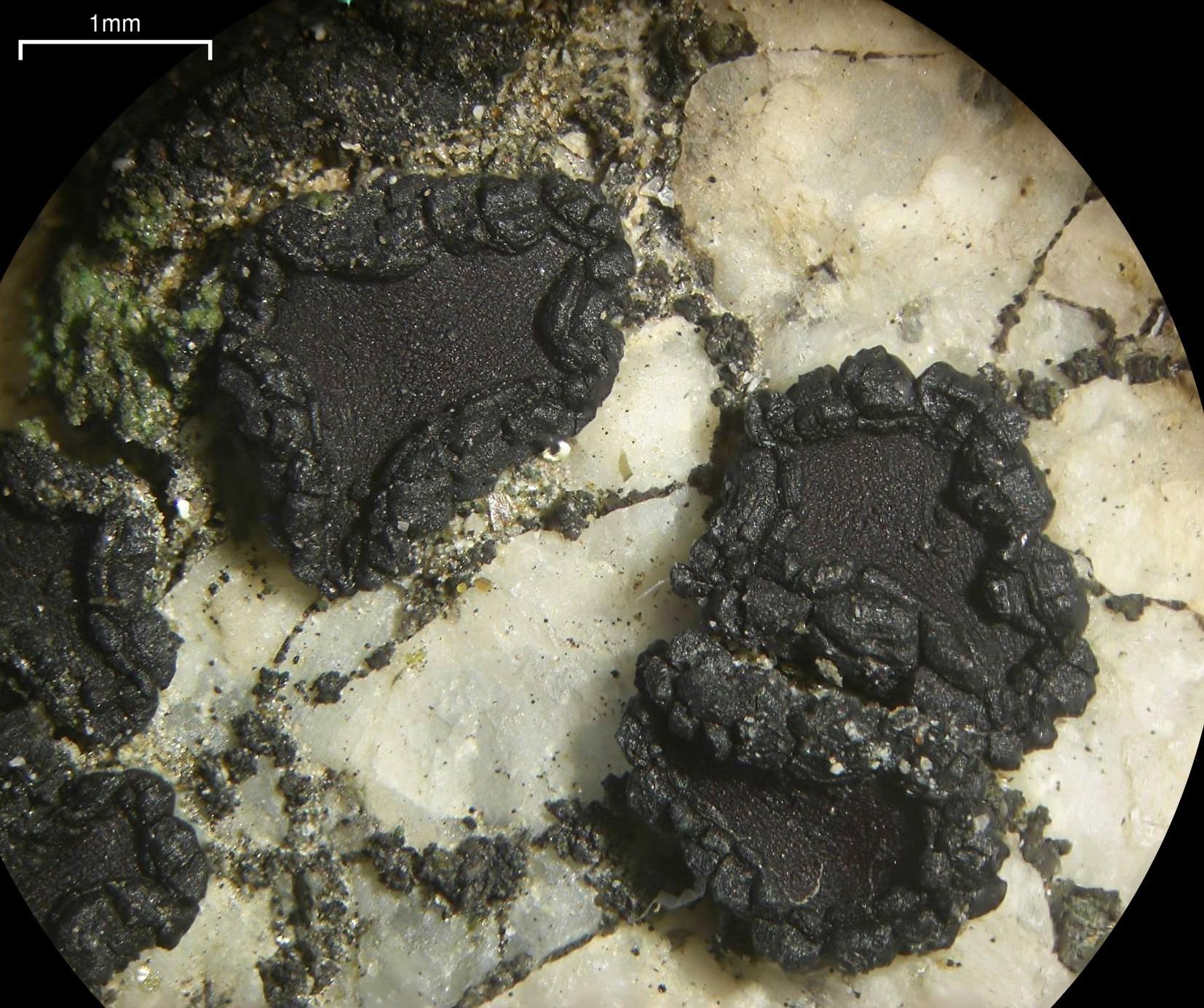 Image of Grain-spored lichens;   Sarcogyne lichens