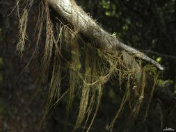 Image of <i>Bryoria fremontii</i> (Tuck.) Brodo & D. Hawksw.