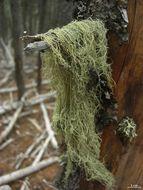 Image of Straw Beard Lichen