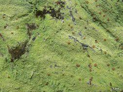 Image of cap lichen