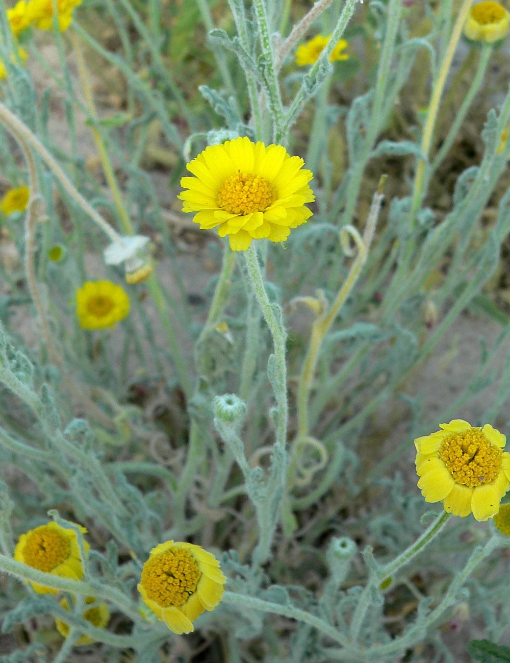 Image of woolly desert marigold