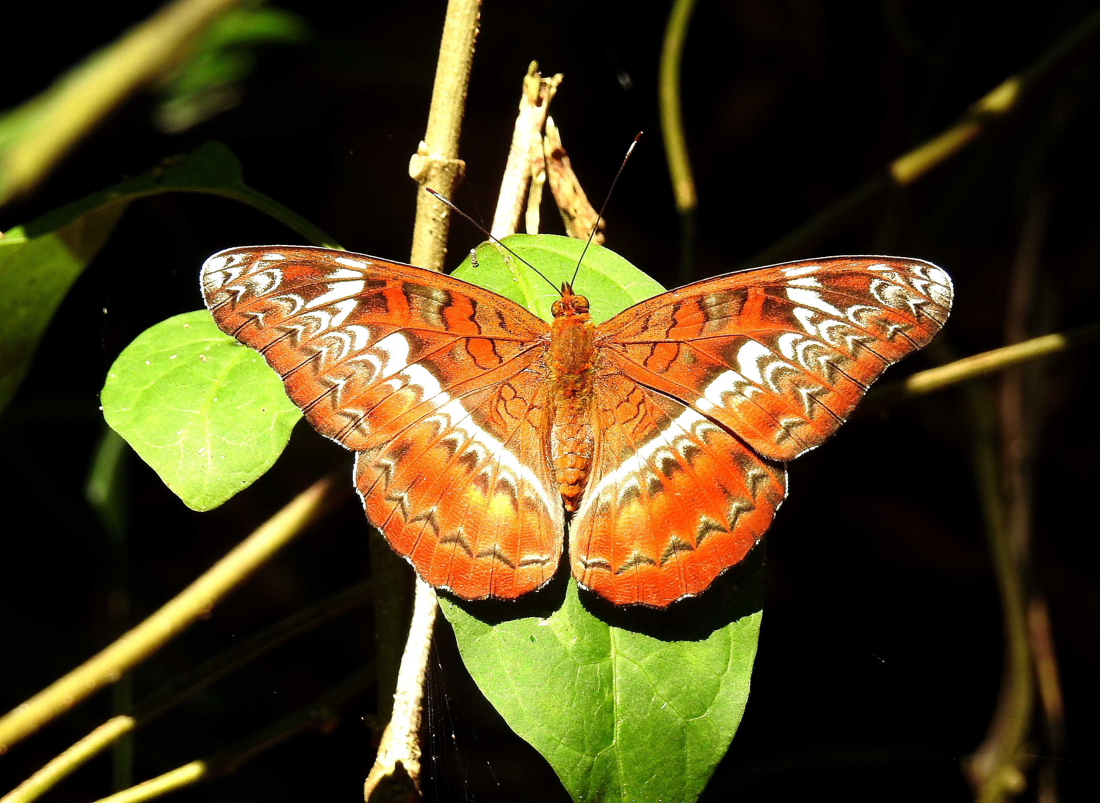 Image of <i>Lebadea martha</i> Fabricius 1787