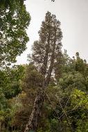 Image of Cedar