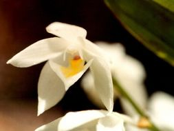 Image of <i>Aganisia pulchella</i> Lindl.