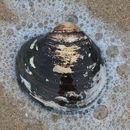 Image of Arcticoidea
