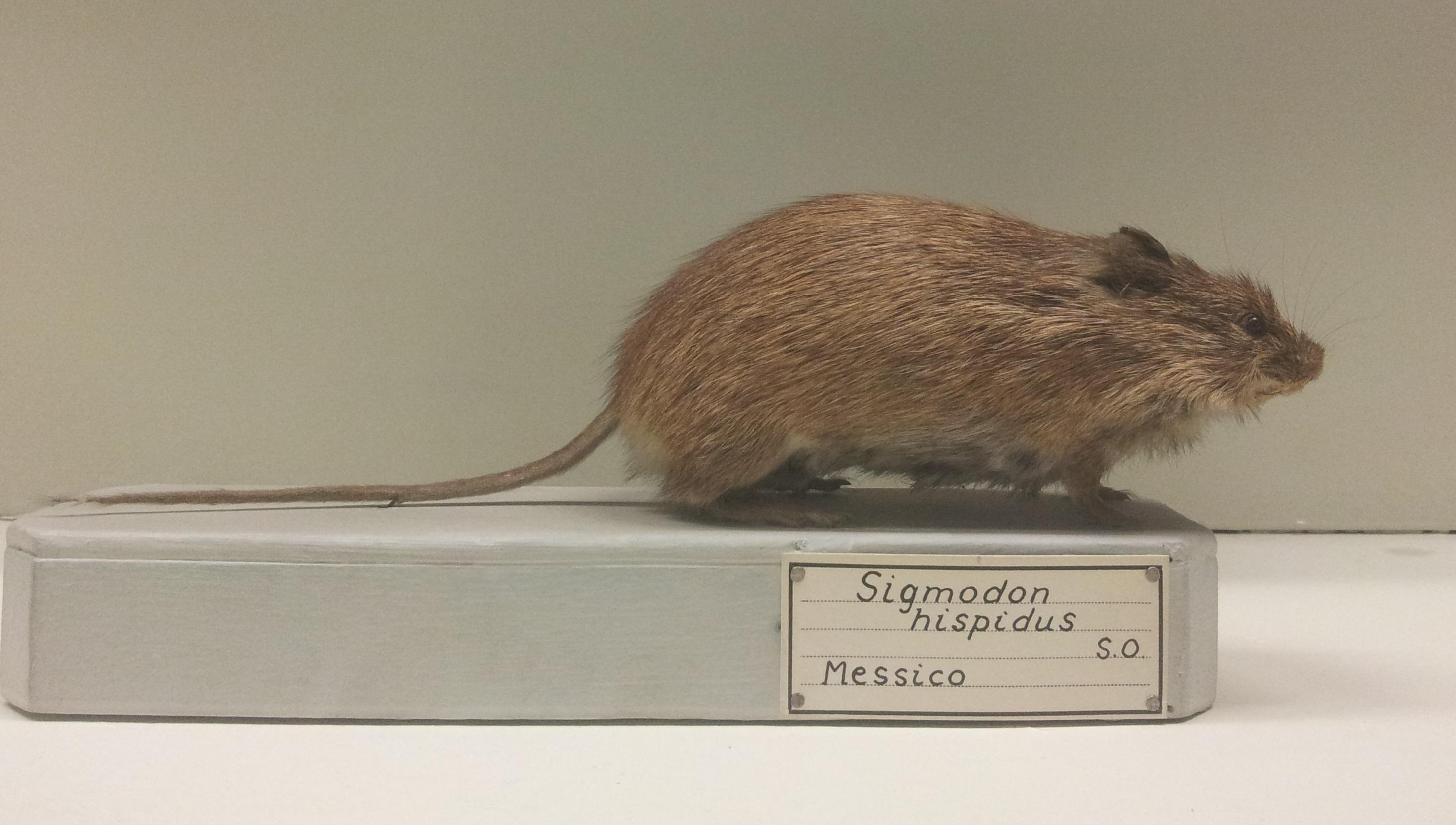 Image of Hispid Cotton Rat