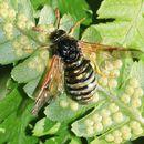 Image of cimbicid sawflies