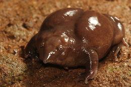 Image of Purple frog
