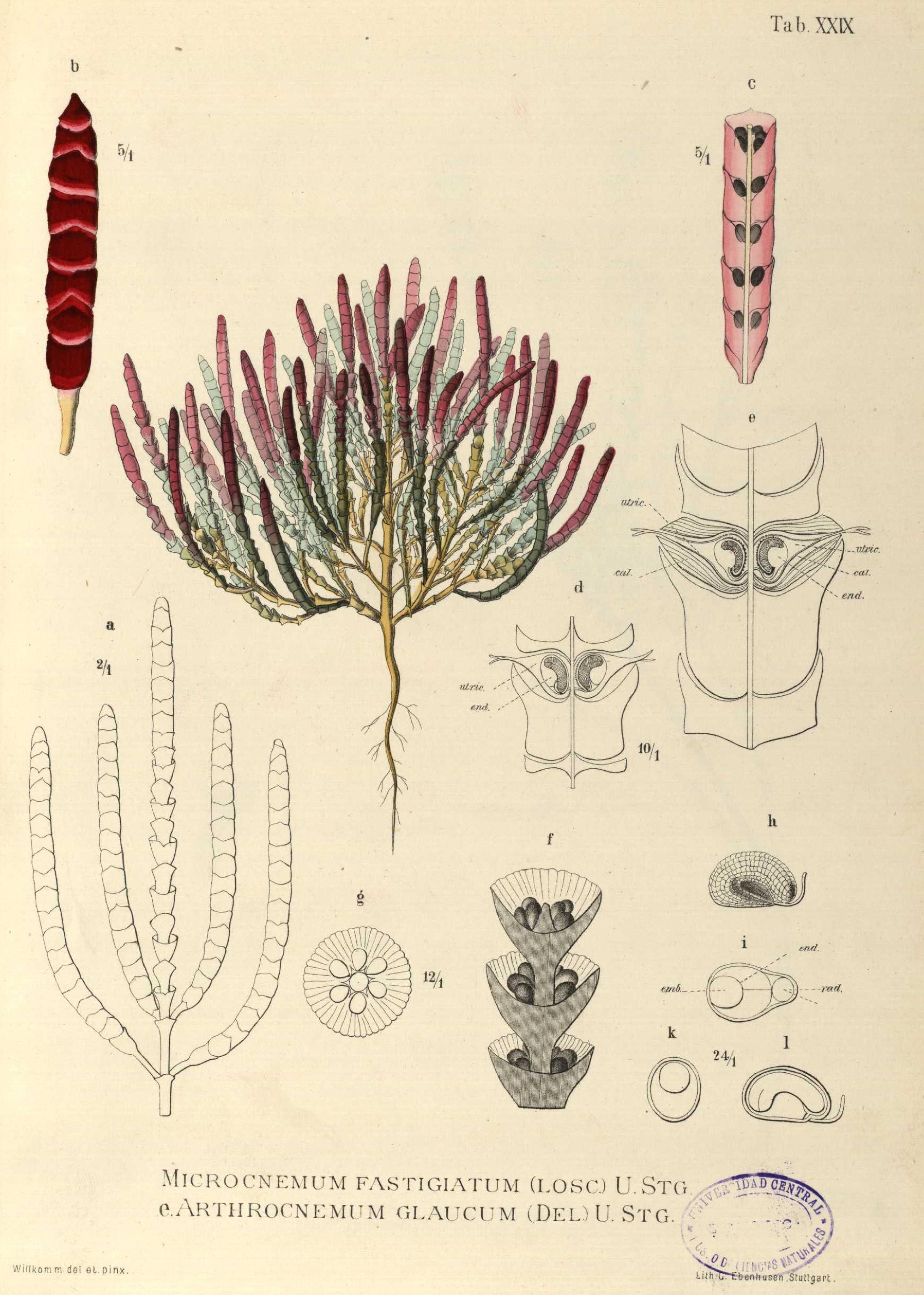 Image of <i>Microcnemum coralloides</i> (Losc. & Pardo) Buen