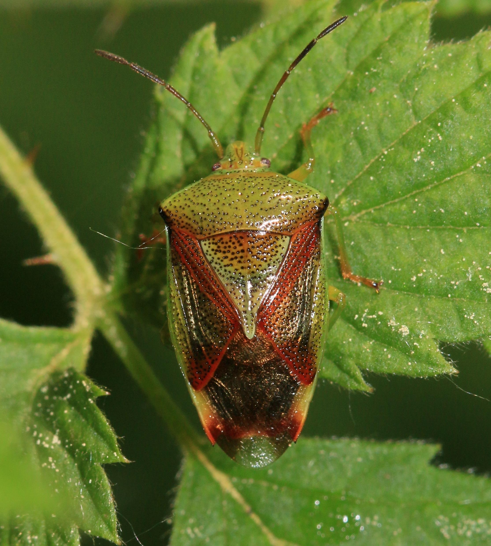 Image of <i>Elasmostethus interstinctus</i> (Linnaeus 1758)