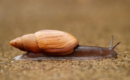 Image of Rosy wolfsnail