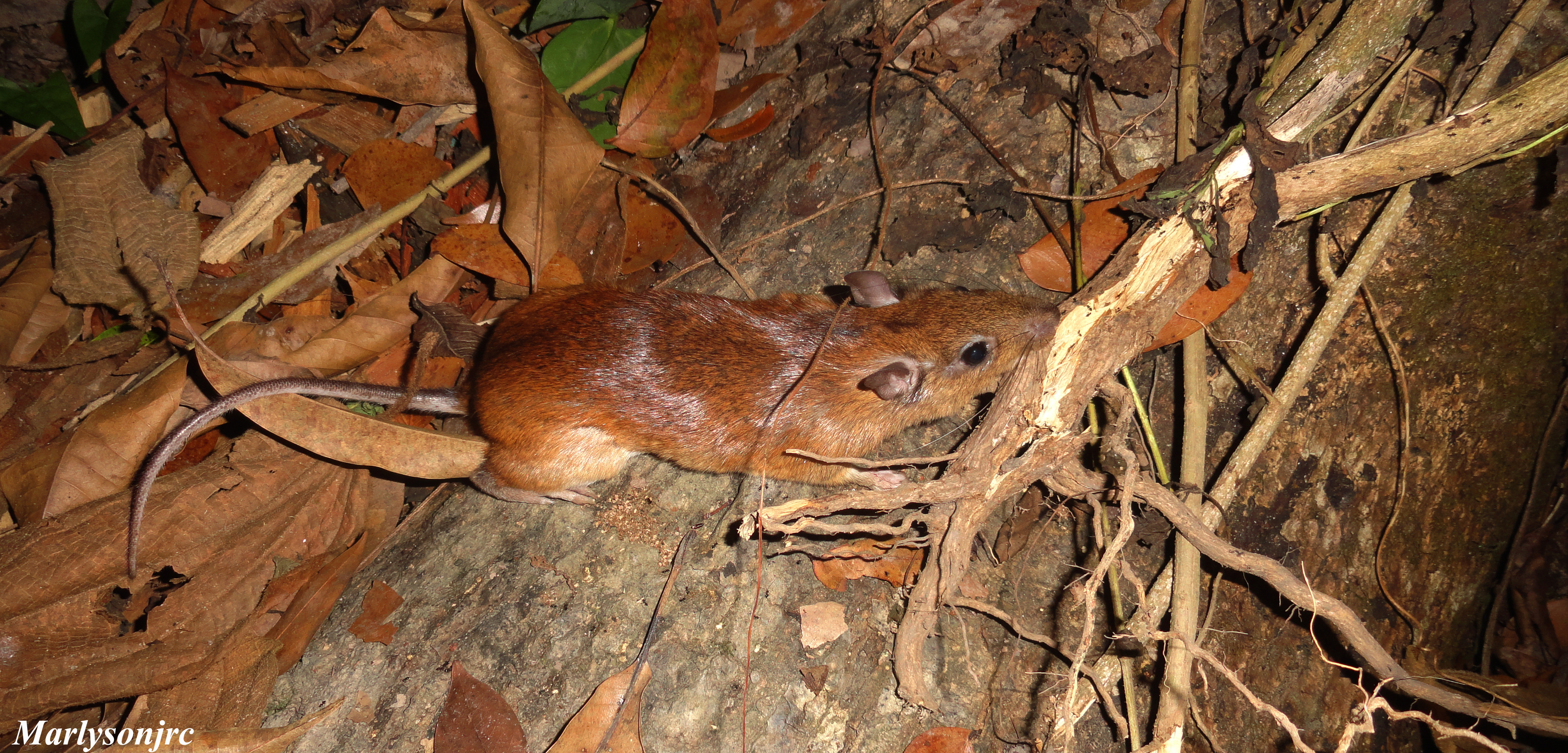 Image of spiny rat
