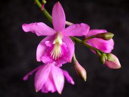 Image of Pseudolaelia