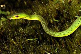 Image of Günther's Vine Snake
