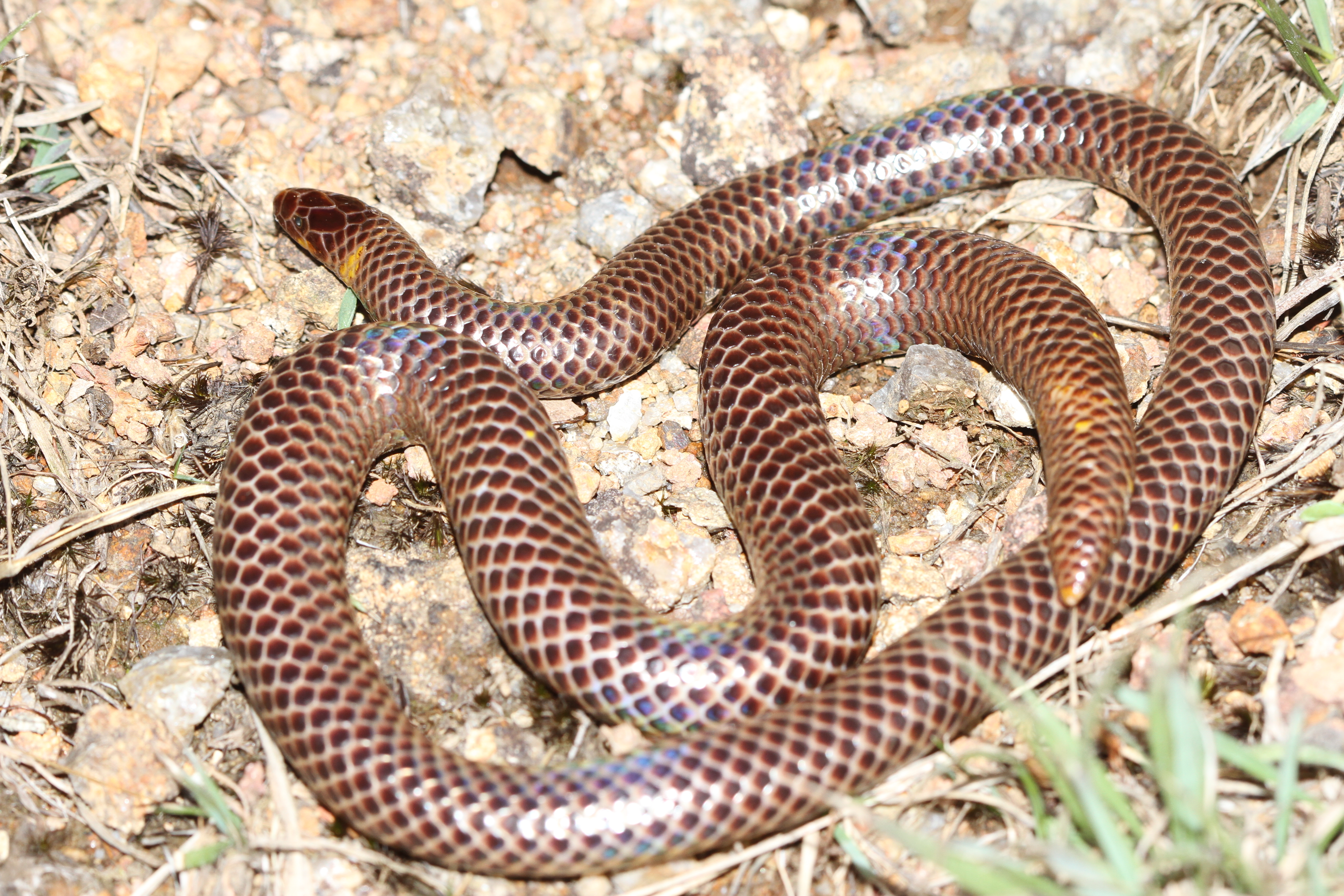Image of Günther's Burrowing Snake
