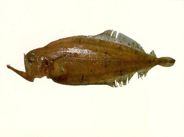 Image of <i>Kamoharaia megastoma</i> (Kamohara 1936)