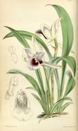 Image of <i>Cochleanthes discolor</i>