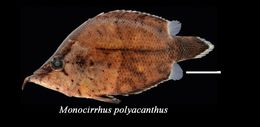 Image of Amazon leaffish