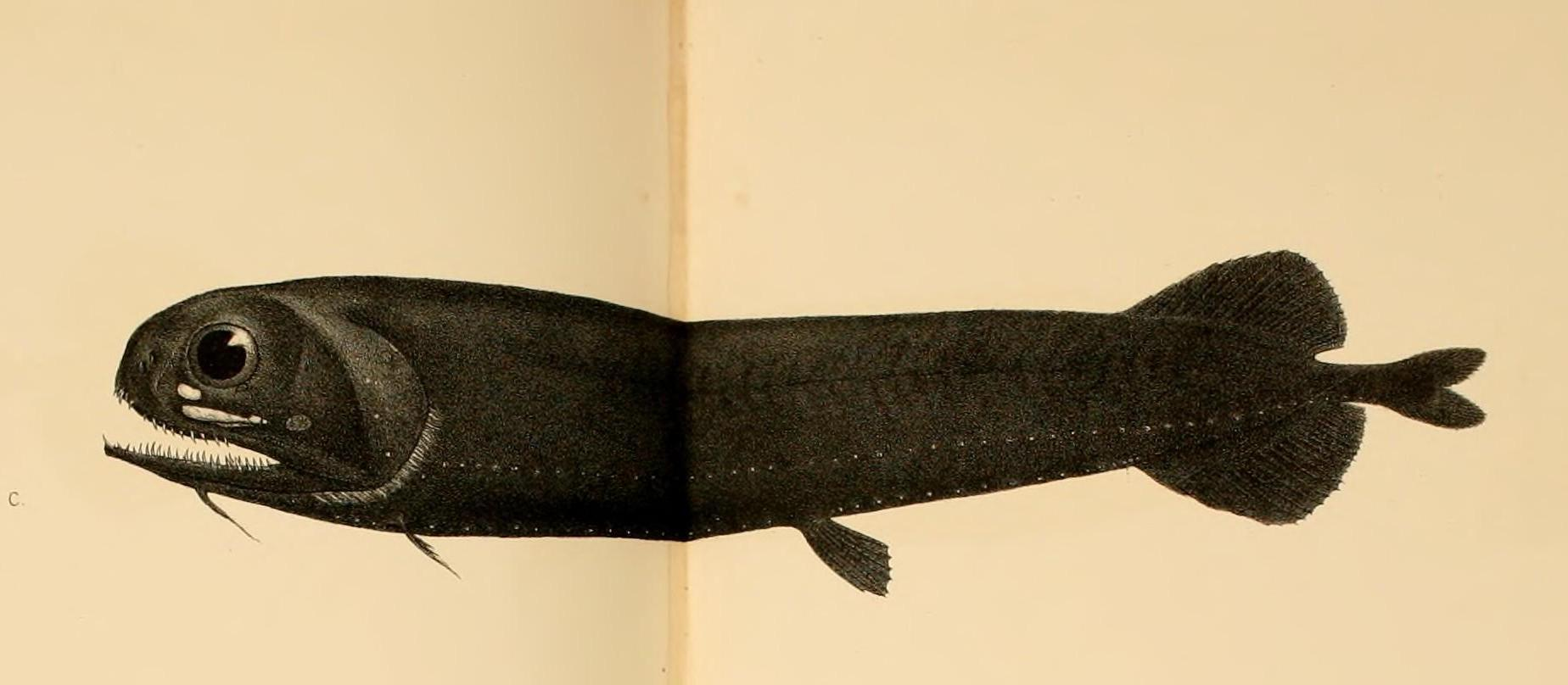 Image of <i>Pachystomias microdon</i> (Günther 1878)