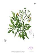 Image of <i>Stereospermum chelonoides</i> (L. fil.) DC.