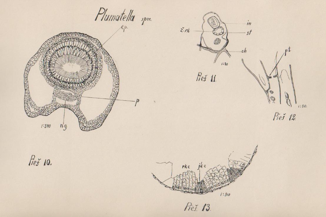 Image of Plumatella