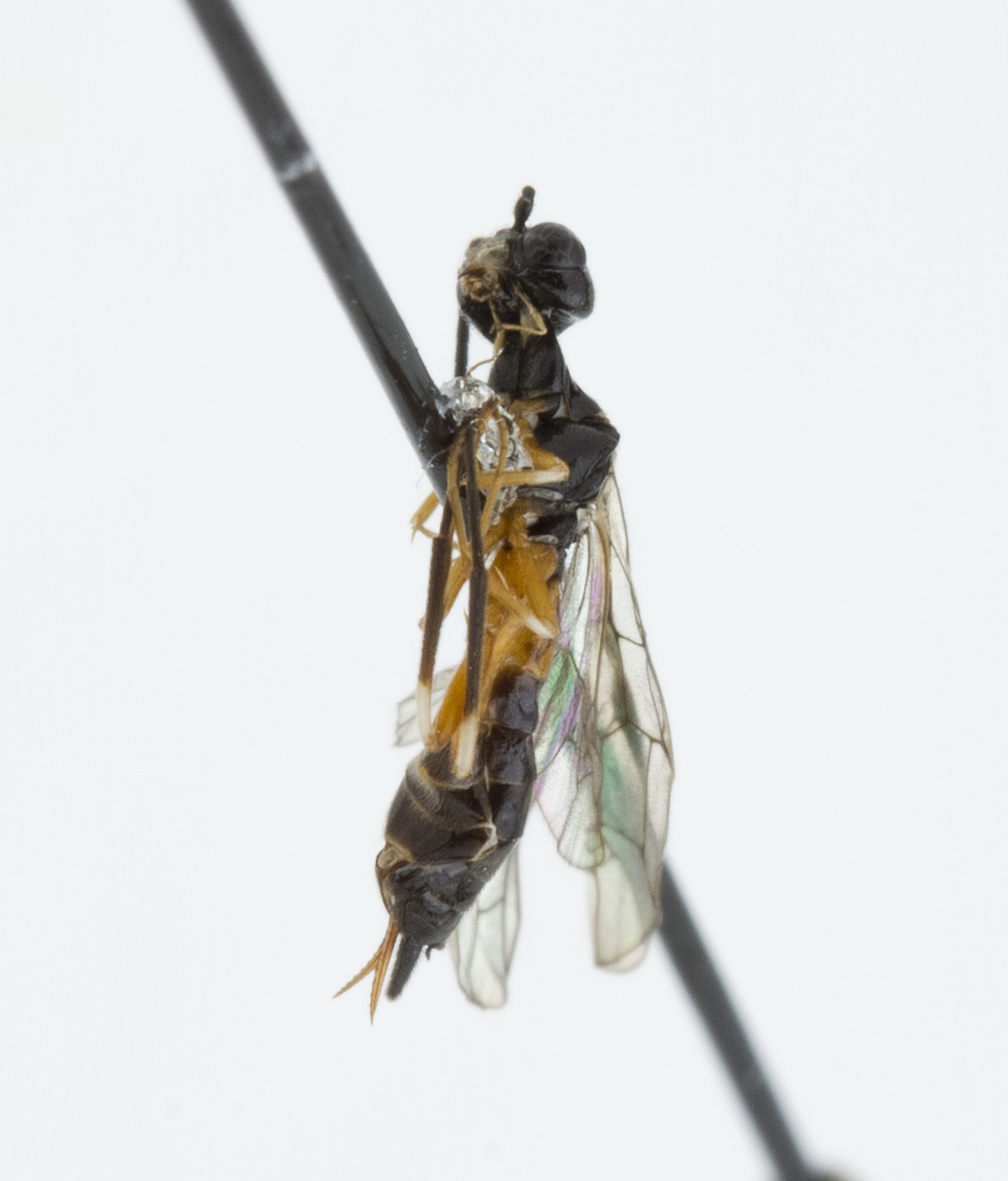 Image of stem sawflies