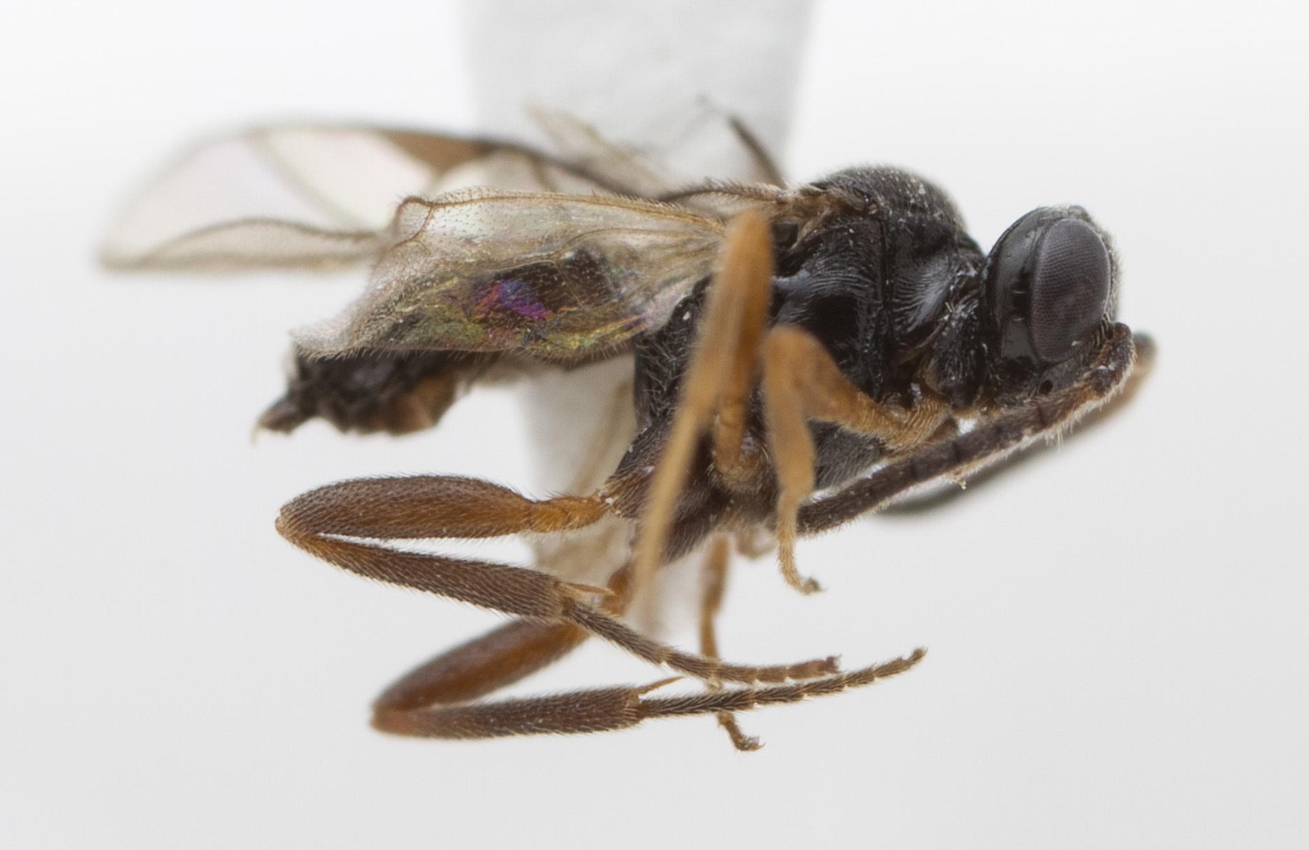 Image of Proctotrupoidea